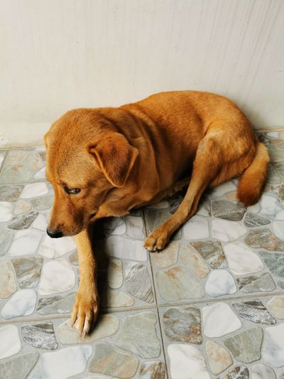 High angle view of dog resting on tiled floor