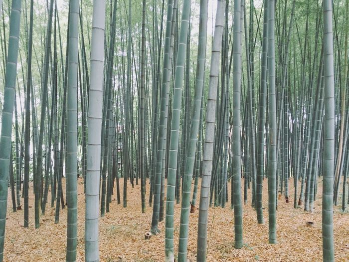Bamboo Plants In Forest