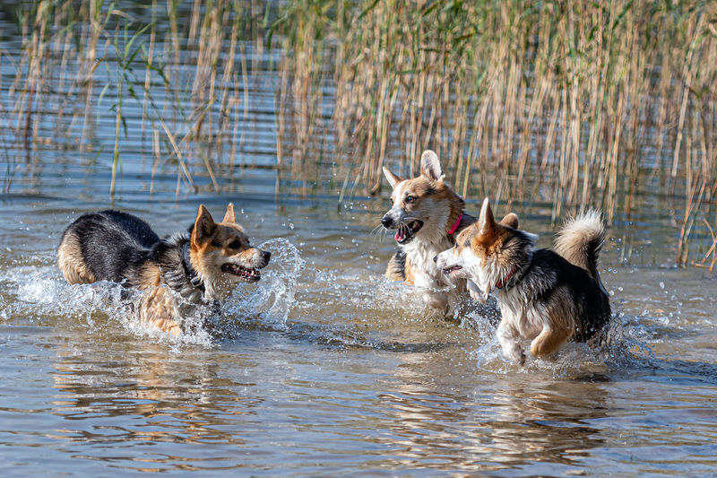 Dogs running in a water