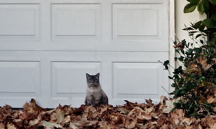 Animal Themes Cat Curiosity Domestic Animals Domestic Cat Fall Leaves Feline Front Yard Looking At Camera No People One Animal Outside Pets Hello World Check This Out