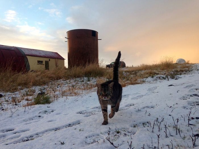 Animal Themes Architecture Beauty In Nature Building Exterior Built Structure Cat Cold Temperature Day Farm Field Hunt Hunting Mammal Nature No People Outdoors Sky Snow Winter