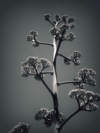 I believe these are called century plants?? Odd but beautiful Dr. Suess type trees that i loved taking pictures of Arizona Desert Nature EyeEm Nature Lover