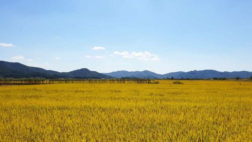 강화도 논 Rice Field Rice Paddy Rice - Cereal Plant Terraced Field Rice Paddy Rice - Cereal Plant