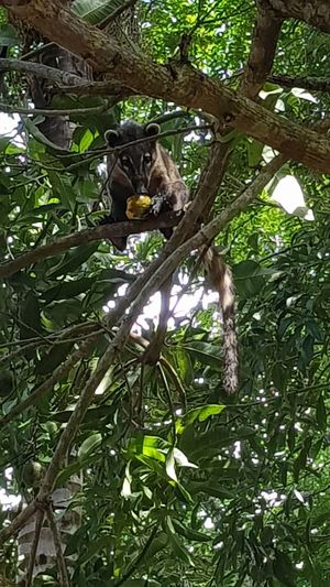 #Quati # tree #mango #SantaBarbará #Brazil #Quati #árvore #manga #SantaBarbará #Brasil Tree Branch Bird Perching Leaf