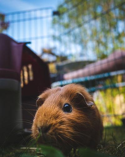 Close-up of a guinea pig