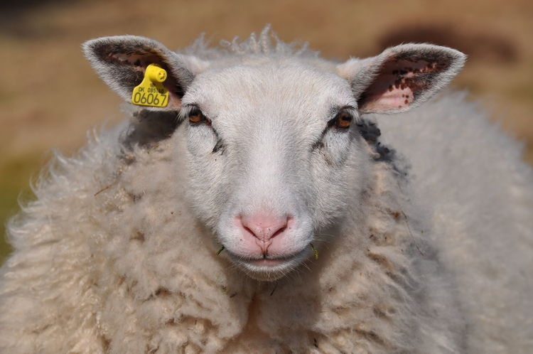 The Portraitist - 2016 EyeEm Awards Portrait EyeEm Best Shots Original Experiences Enjoying Life Stare Look Wool Sheep Front View Full Frame Frontal Shot Animals Moment Grass Hi There Shades Of White Shades Of Beige Woolen BYOPaper!