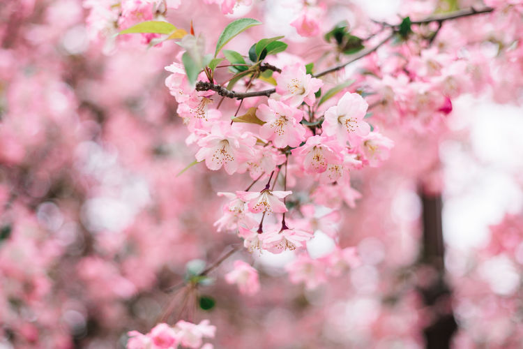 Close-up of pink cherry blossoms in spring