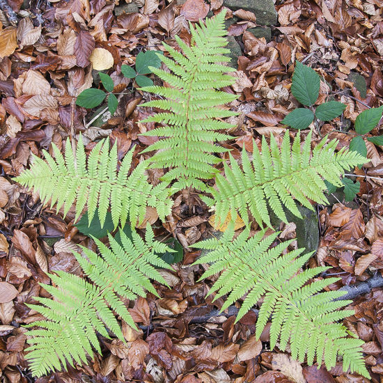 Fern in the shape of star Beauty In Nature Brown Brown Leaves Close-up Day Fallen Leaves Fern Forest Green Color Green Color Leaf Nature Nature No People Outdoors Plant Plant Shapes , Lines , Forms & Composition Shapes And Forms Shapes In Nature  Star EyeEmNewHere