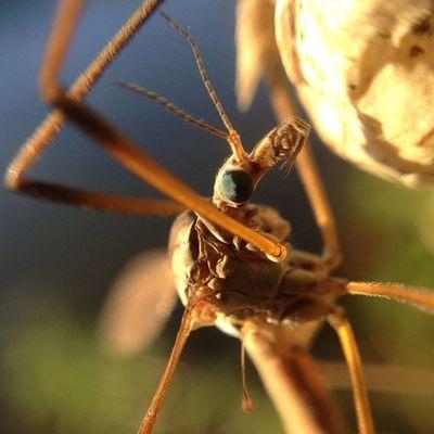 Crane fly Macro Insect Improvedimage Cranefly