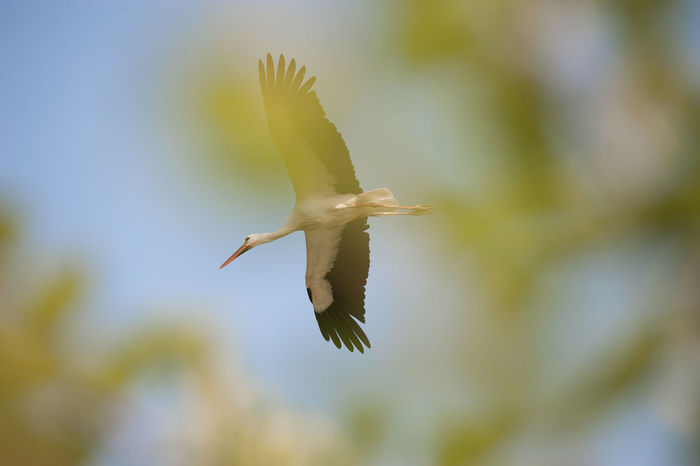 Flying One Animal Animals In The Wild Bird Animal Wildlife Spread Wings Mid-air Animal Themes Day Outdoors Full Length No People Nature Sky Close-up Racconigi Nikonphotography Cicogna Fly Nature Followme Like4like Likes Likesforlikes
