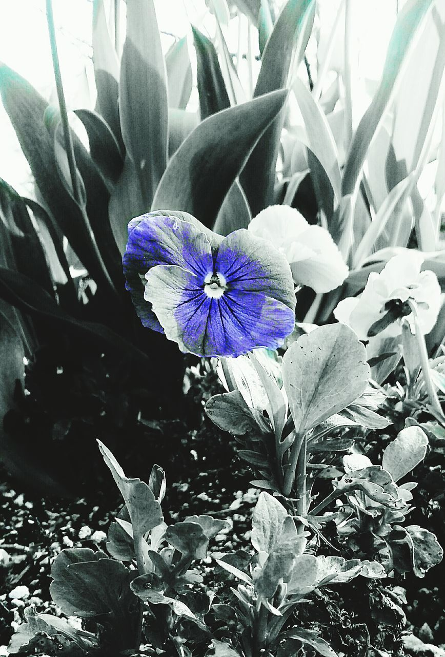 flower, petal, fragility, growth, beauty in nature, plant, freshness, flower head, purple, nature, leaf, no people, day, outdoors, close-up, blooming, iris - plant, crocus