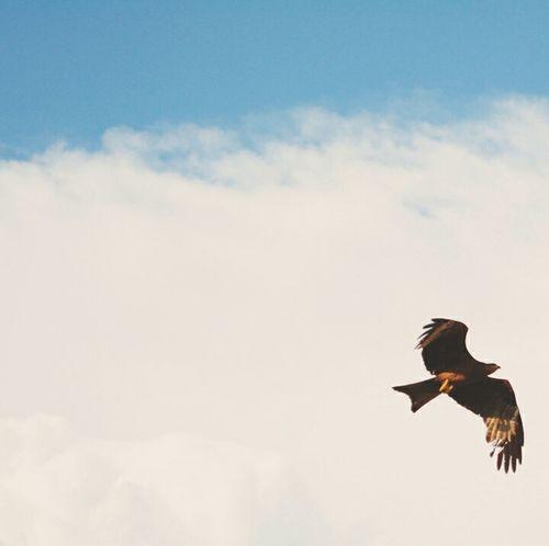 Beauty! Beautiful Beauty Bird Photography Birds Of EyeEm  Indian Birds Kite Kitebird Negative Space Birds In Flight