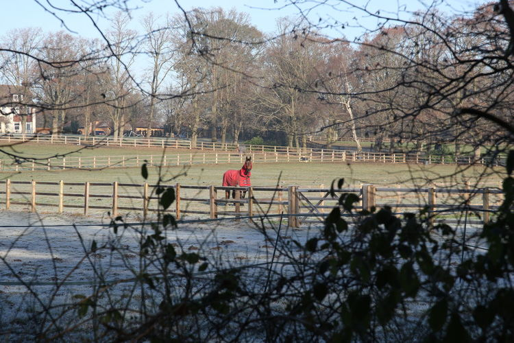 Animal Themes Bare Tree Branch Day Frosty Field Frosty Morning Horse Horse In Coat Nature Outdoors Sky Surrey Countryside Tree
