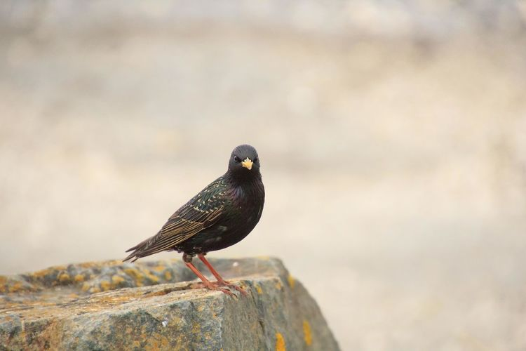 Starling sits