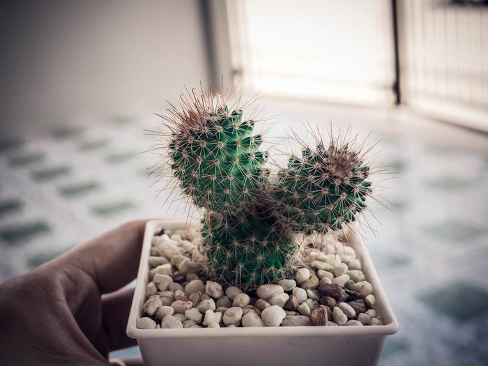 Close-up of hand holding cactus in pot