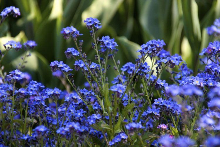Blue Flowers In Park