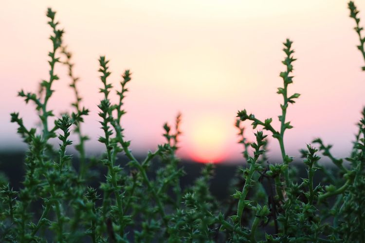 Plant Growth Sky Beauty In Nature Nature Field Tranquility Focus On Foreground No People Land Flowering Plant Flower Outdoors Sunset Green Color Fragility Day