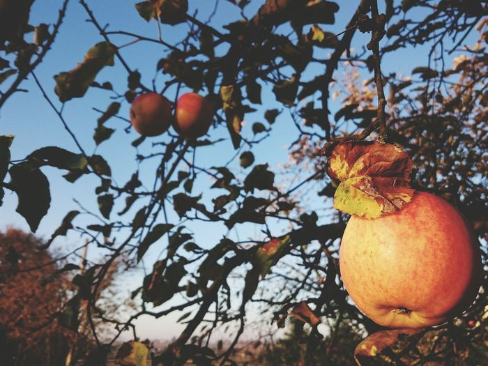 Fruits ♡ Fruit Apple Apple Tree EyeEm Gallery Eeyem Photography Moments Of My Life @ 私の人生の瞬間。 Tree Beauty In Nature Poland 💗 Butiful♥ Poland ❄📷⛄🍻 MomentsToRemember