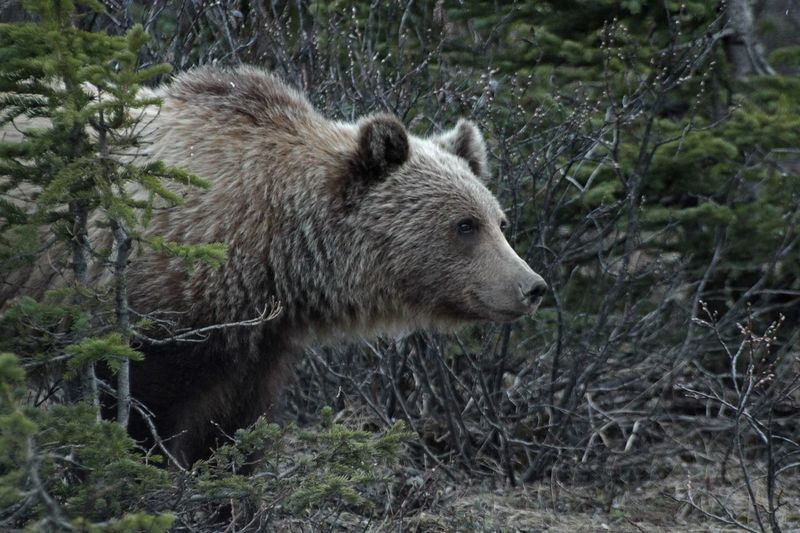 Grizzlybear Jasper Grizzly Bear Smiles Bear Beautiful Nature Giant Nature_collection Eye Em Nature Lover Mybestphoto2015