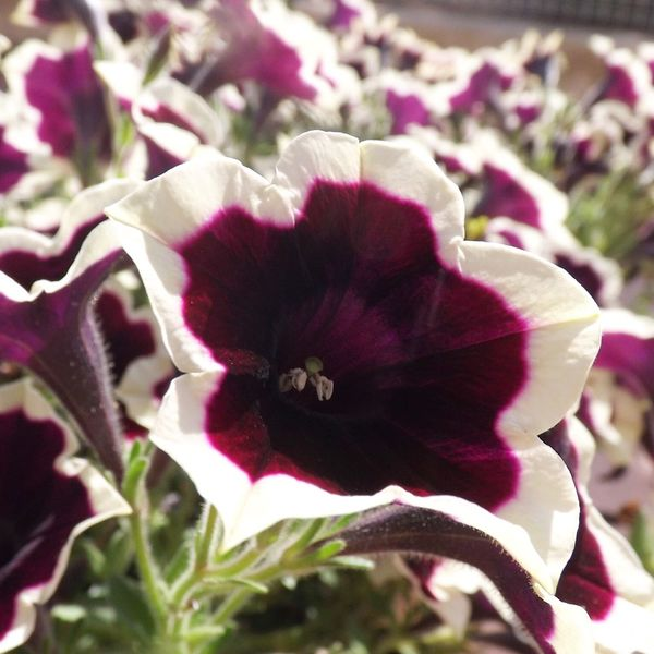 Flower Petal Fragility Nature Growth Beauty In Nature Plant Freshness Flower Head Day Outdoors No People Close-up Blooming Petunia