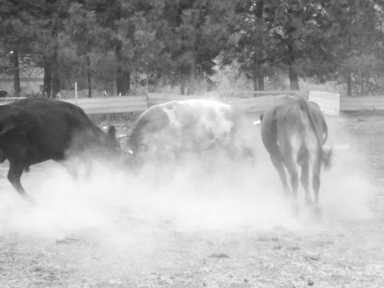 Black And White Monochrome Agriculture No People Full Length Livestock Animal Themes Mammal FearlessnessDust Animals In The Wild Beauty In Nature Outdoors Rural Scene Action Shot  Action Dusty Movement Blur Pets Of Eyeem Liv'n The Dream Farm Animals Cows Movement Day Farm Animal Black And White Friday