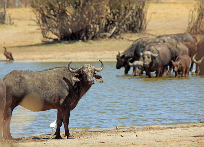 Animals In The Wild Animal Wildlife Safari Wildlife & Nature Hwange National Park Zimbabwe Southern Africa Travel Destinations Vacations Plains Savannah Outdoor Photography Mammal Wilderness Beauty In Nature Cape Buffalo Big Five