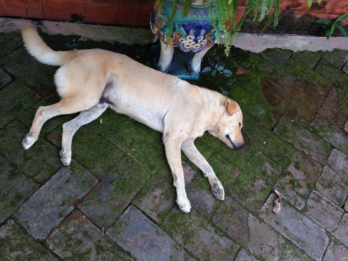 Cool Sleepy Dog Yellow Dog  Day Sleep In Garden Deep Sleep Happy Moment Jardin De Chaisri Nakornphathom Thailand Coffee Noon Cafe French Style