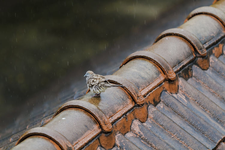 Wet Pigeon playing the rain on the old roof on a rainy day. Animal Beak Bird Day Dove Drop Home Nature Outdoors Rain Rainy Rippled Roof Season  Shingle Splashing Water Weather Wet Wing