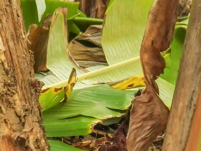 Banana Leaf Banana Tree Beauty In Nature Close-up Day Freshness Green Color Growth Leaf Nature No People Outdoors Tree