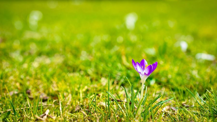 The last stand Krokus Flower Blume Hello World EyeEm Selects EyeEm Best Shots First Eyeem Photo Plant Flower Beauty In Nature Flowering Plant Freshness Green Color Growth Nature Grass Field Land No People Close-up Fragility Purple Focus On Foreground Outdoors