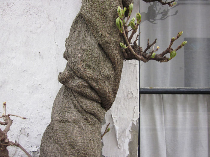 twisted tree Close-up Day Growth Nature No People Outdoors Plant Twisted Tree Wasteria