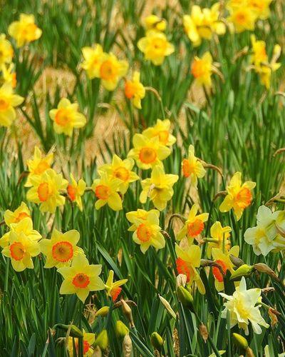 * 水仙の花畑😃05/05 Narcissus flower garden 😃05/ 05 * 風景 名古屋 眺め Landscape Vista 眺望 View Nagoya スナップ Japan 日本 Love_world Bestnatureshot 綺麗 景色 Nature 自然 爽やか Sky Igworldclub Follow Worldbestgram Aichi Beautiful Lov view_japan_nagoya_yama 🎶