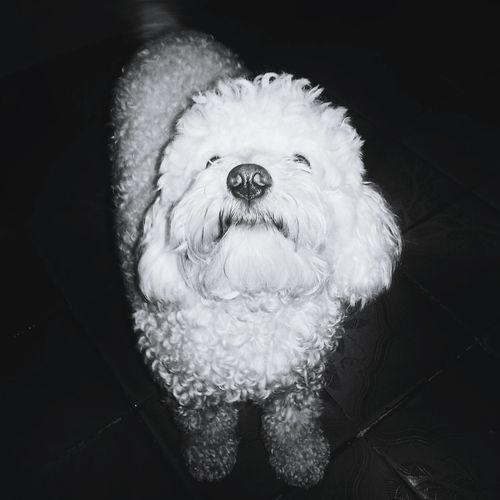 Plug Goodnight Saturdaynight Poodle Blackandwhite Black & White Pets Lookmynose Dog Nose