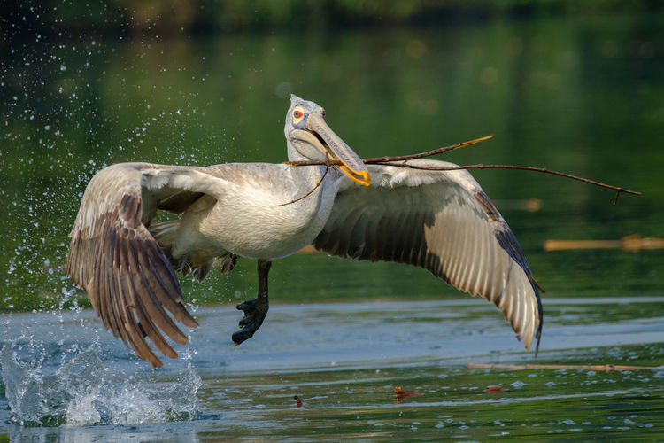 Take off Animal Themes Animal Wildlife Animals In The Wild Beauty In Nature Bird Close-up Day Flying Focus On Foreground Lake Nature Nest Building No People Outdoors Pelican Pelican In Flight Spot Billed Pelican Spread Wings Twigs And Branches Water