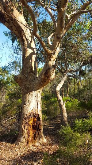 Australian gum tree Bush Bushwalking Eucalypt Eucalyptus Tree Forest Gumtrees Tranquil Scene Trees