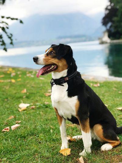 Senta Dog Domestic Animals Pets Nature