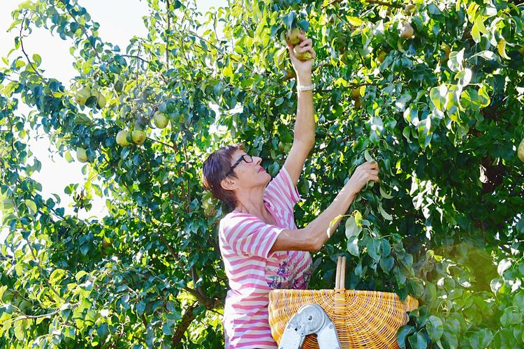 Real People Woman Pear Tree  Harvest Agriculture Raw Food Organic Fruit Basket Pear Women Plant Leisure Activity Females Nature Tree Lifestyles Human Arm Picking Casual Clothing Fruit Tree