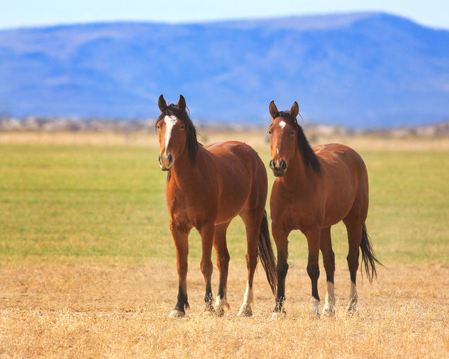 Two horses Standing Landscapes Animals Utah Hoofed Mammal Mustang Horse Wild Horses Horse Two Is Better Than One Two Animals Brown Horse Outdoors Field Horse In Field Side By Side