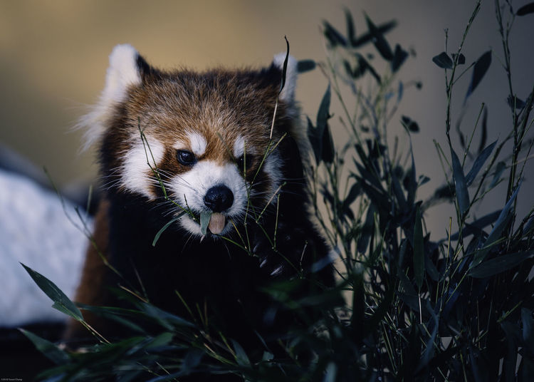 Red panda spotted in Hokkaido, Japan Red Panda Red Panda Bear Hokkaido Japan Eating Bamboo Cute Animal One Animal Animal Mammal Animal Wildlife Animals In The Wild Portrait Animal Head  Looking Close-up Asahikawa