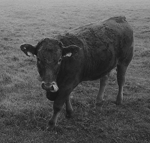 Livestock Animal Themes Looking At Camera Outdoors Domestic Cattle Animal Licking Nose Licking Nature_collection EyeEm Nature Lover EyeEm Best Shots - Nature Eye4black&white  Blackandwhite P9photography Huaweiphotography Comedy P9monochrome