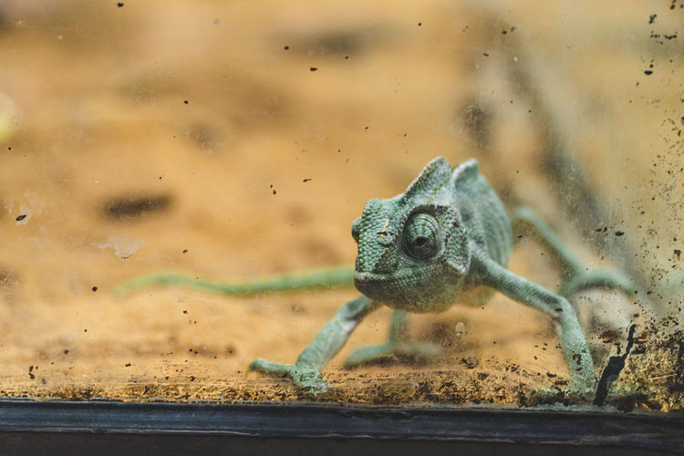 View of a flap-neck chameleon in a glass cage