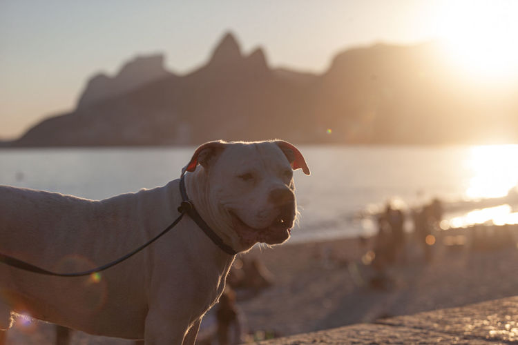 Close-up of dog looking at beach during sunset