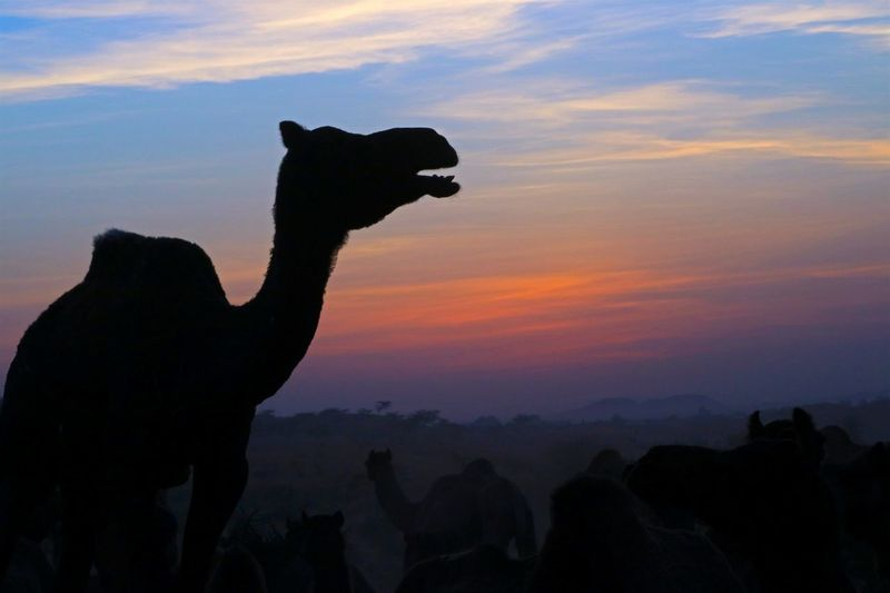 Blue Wave Concept Photography Photographic Memory Traveler Photography Themes Camelfair Pushkar Rajasthandiaries India Rajasthani Rajasthani Culture Exploring Nature Followme Follow Rajasthan Trip RajasthanArt Camels Sillhouette Sillhouttes And Sky Finding New Frontiers