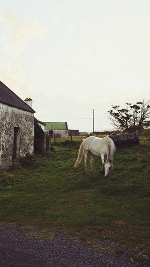 Horse Nature Outdoors Horses Unicorn Beautiful Nature One Animal Calm Ireland Irland Achill Achill Island Whitehorse White