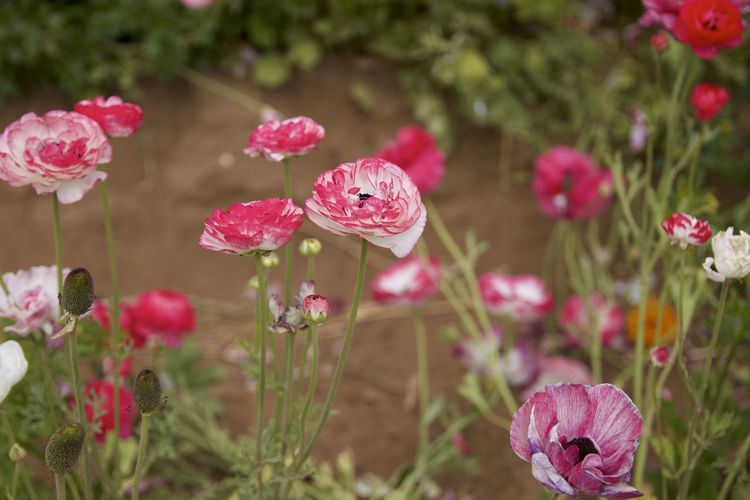 Close-up of pink rose flowers in field