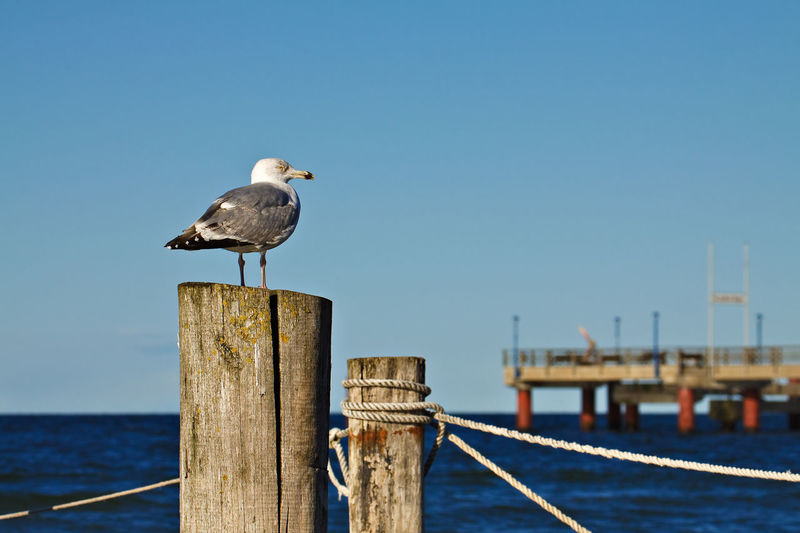 Seagull perching on wooden post by sea