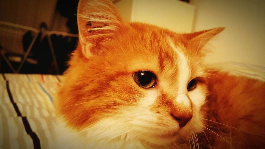 Le chat roux. Redneck cat Cat Chats Roux