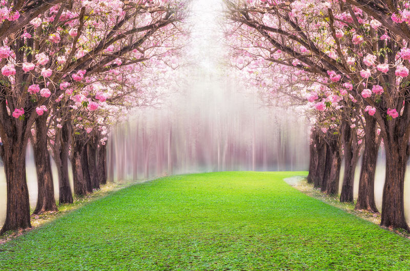The romantic tunnel of pink flower tree, Pink trumpet tree. Pink Flower Blossom Tree Cherry Romantic Flowers Landscape Tunnel Spring Nature Trumpet Road Beautiful Background Arch Trees Park Path Garden Colorful Way Green Environment Botany Tabebuia Valentine Outdoor Branch Blooming Pathway Along Season  Happy