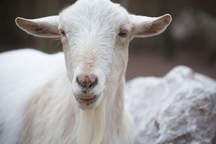 Close-up portrait of goat