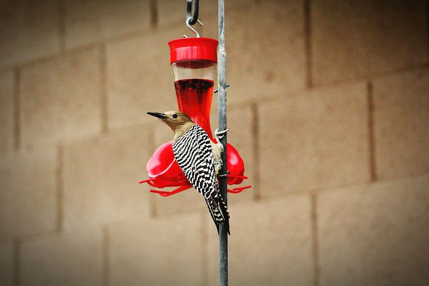 Arizona Birds Wood Pecker Birds Red Outdoors Wildlife Wildlife & Nature Bird Hanging Red No People Indoors  Day Coathanger Close-up